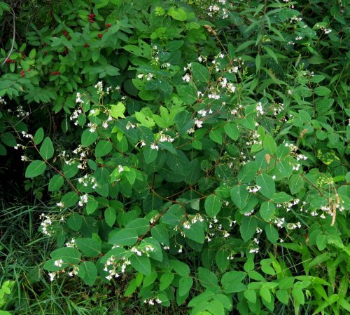 16. Spreading Dogbane