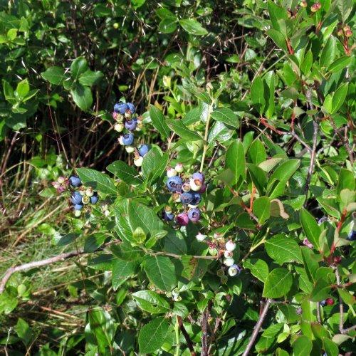 17. Blueberries