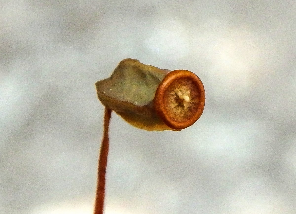 17. Juniper Haircap Moss Spore Capsule Without  Calyptra