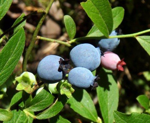 18. Blueberries