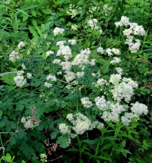 18. Tall Meadow Rue