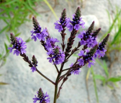 18. Vervain