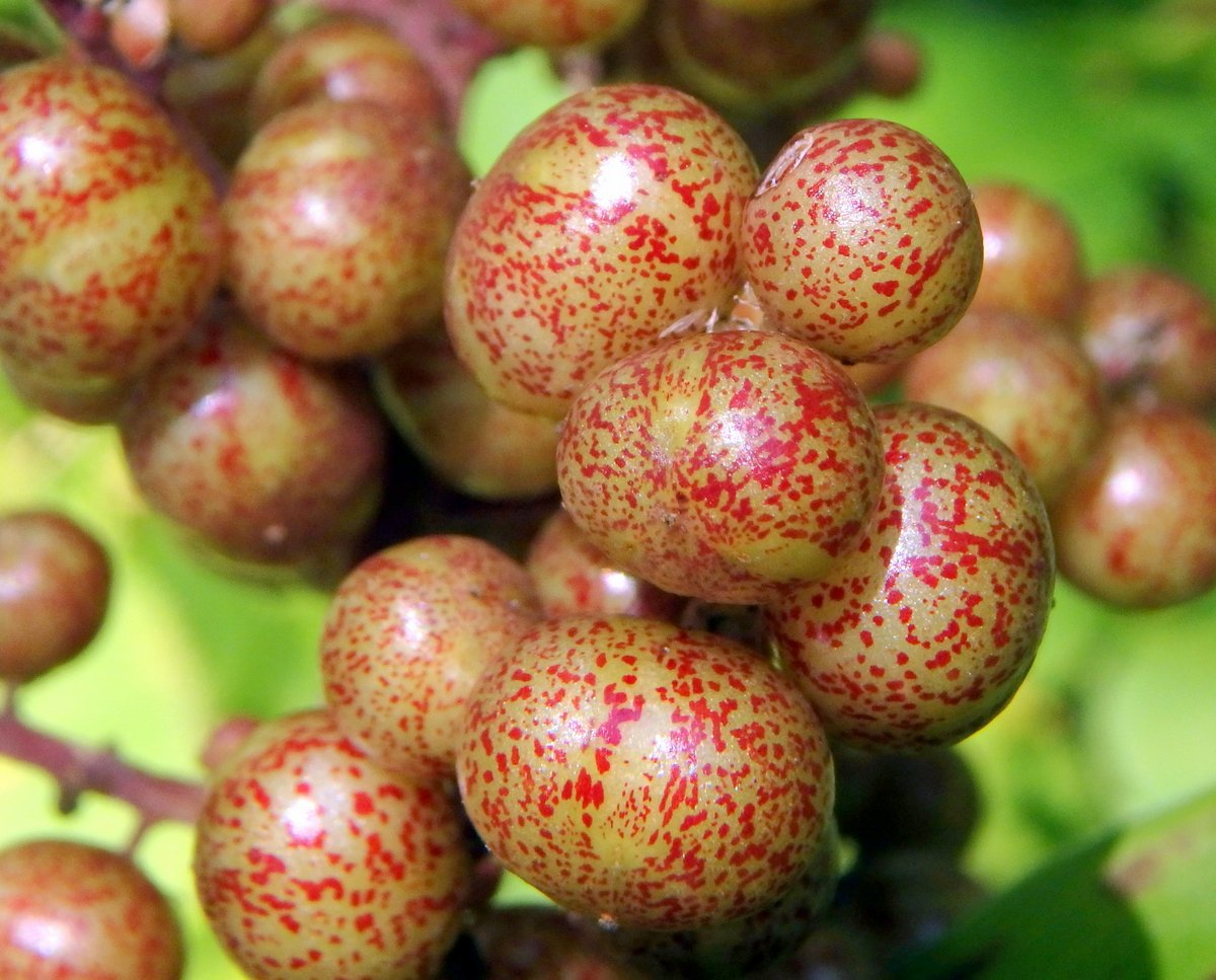 19. False Solomon's Seal Fruit