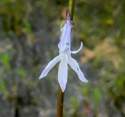 19. Lobelia Blossom