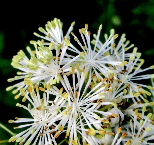 19. Tall Meadow Rue