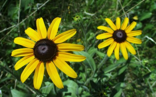 2. Black Eyed Susans