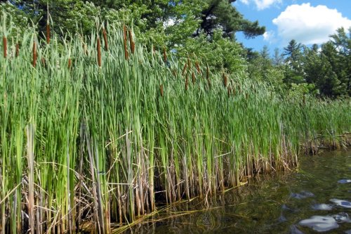 20. Cattails