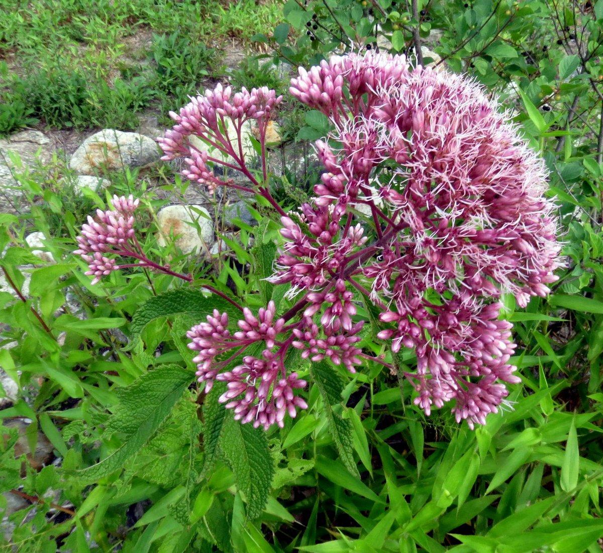 Rabbit s foot clover new hampshire garden solutions for Joe pye weed