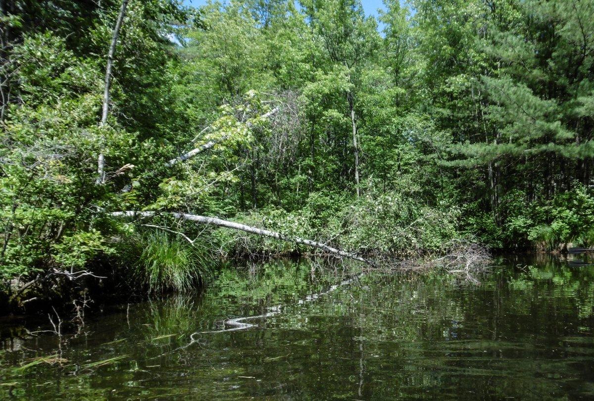 4. Beaver Birch