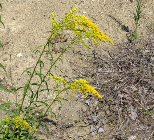 4. Gray Goldenrod