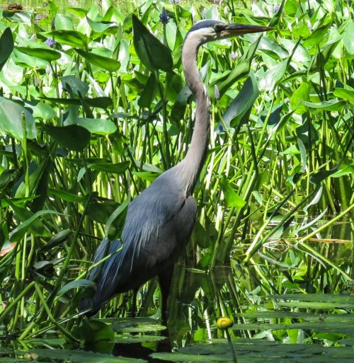 4. Great Blue Heron