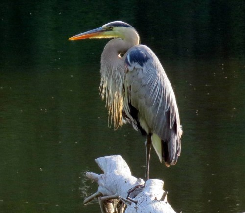 5. Great Blue Heron on Log