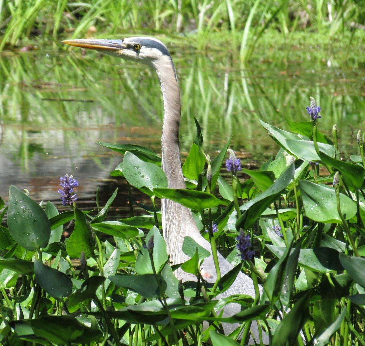 5. Great Blue Heron
