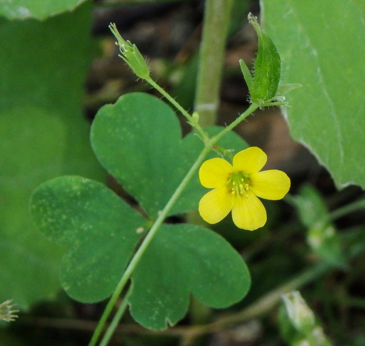 5. Yellow Sorrel