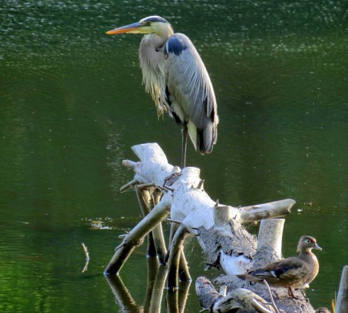 6. Great Blue Heron and Wood Duck