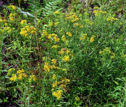 6. Slender Fragrant Goldenrod