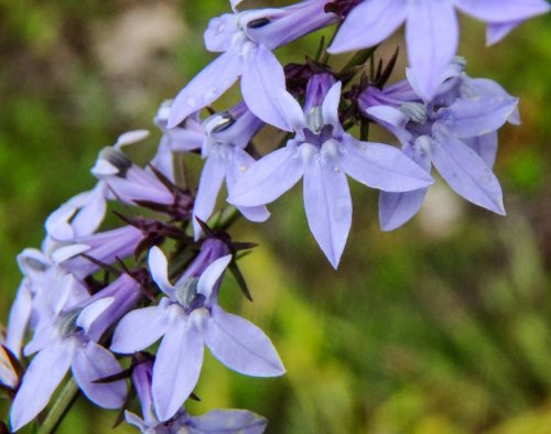 7. Pale Spike Lobelia