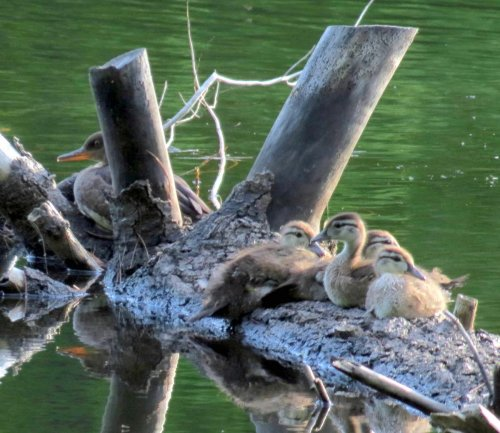 7. Wood Ducklings