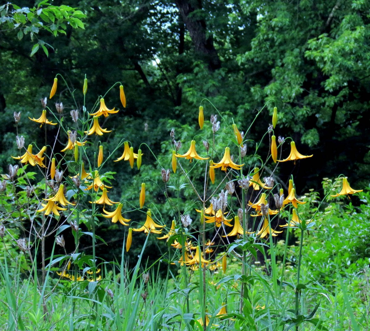 8. Canada Lilies