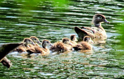 8. Wood Duck Mother and Ducklings