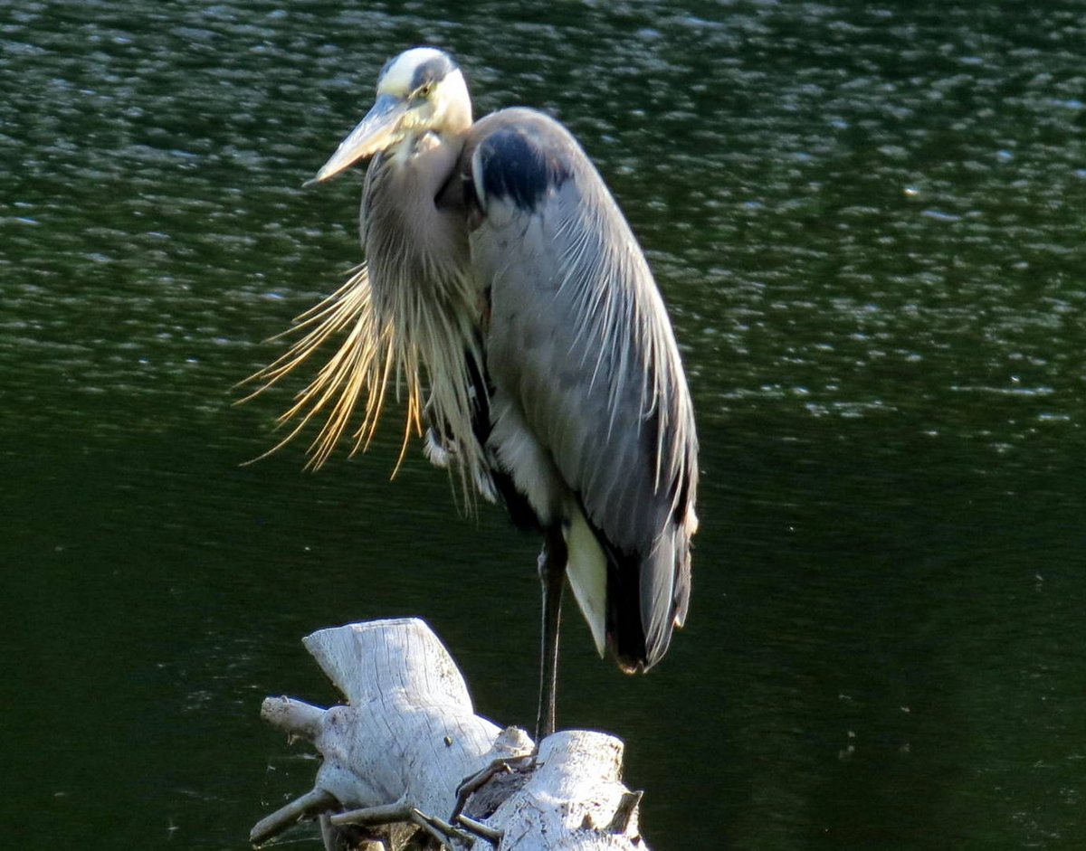 9. Great Blue Heron on Log