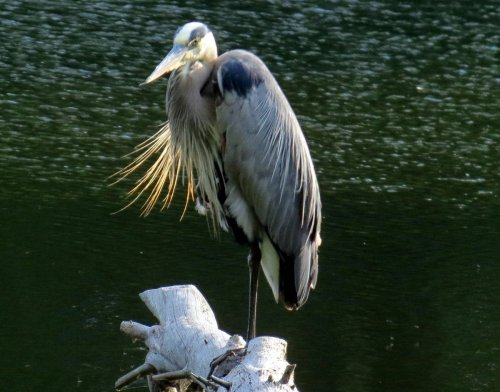 9. Great Blue Heron on Log