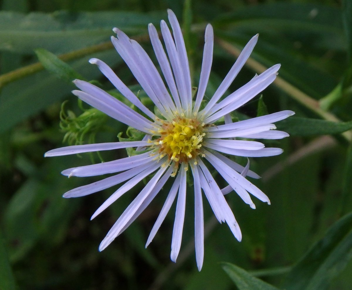 1. Crooked Stem Aster