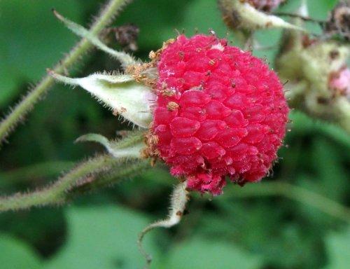 10. Purple Flowering Raspberry Fruit