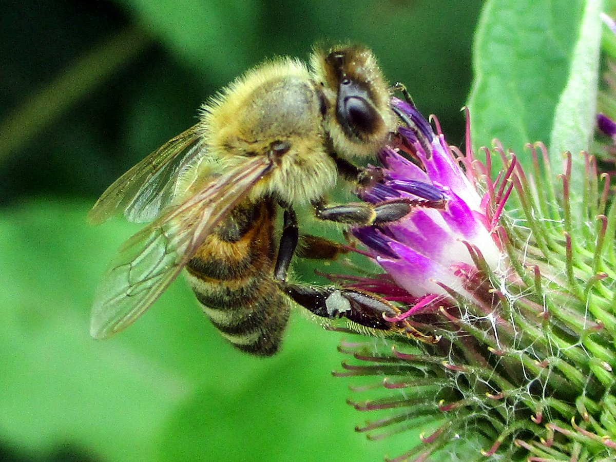 11. Bee on Burdock
