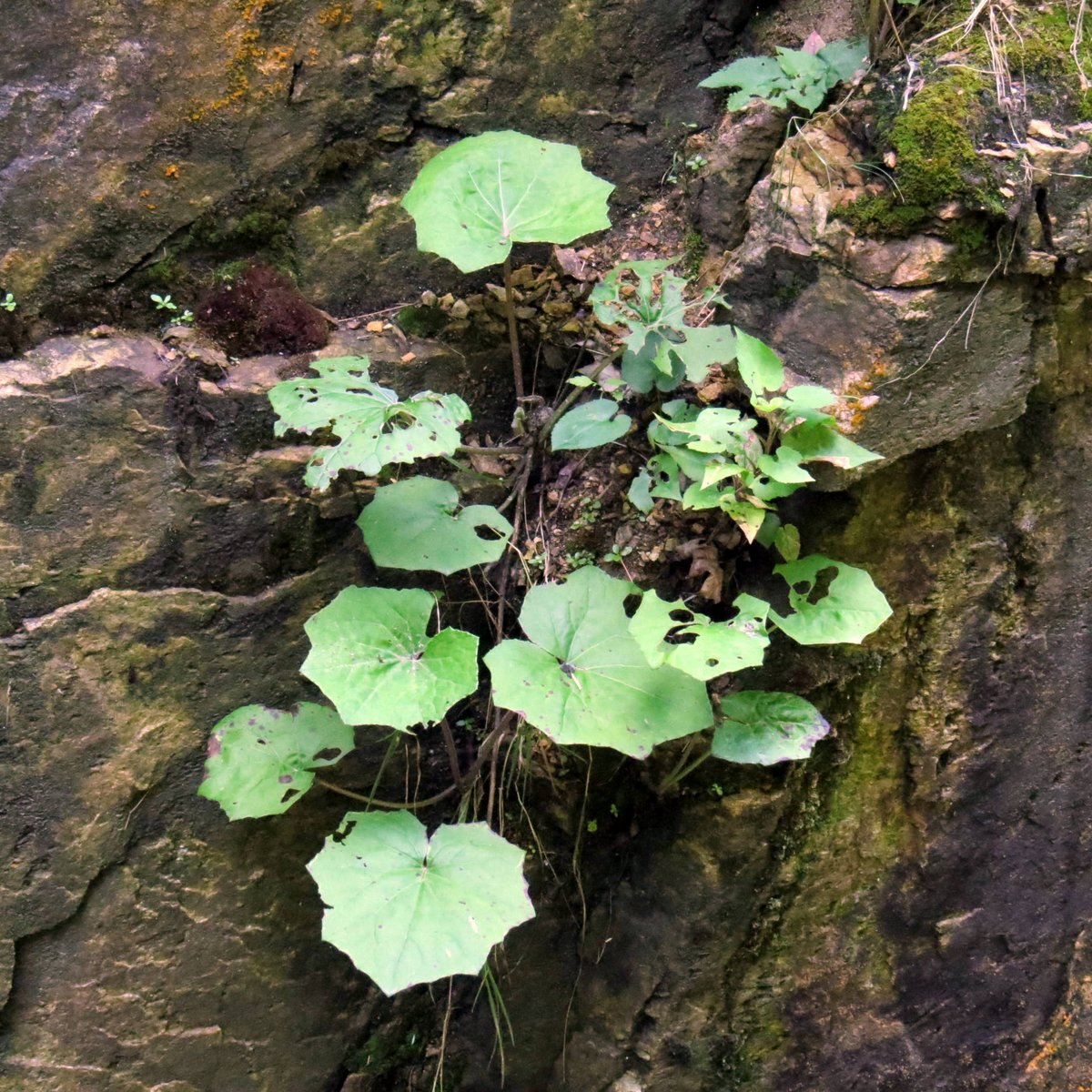 11. Coltsfoot