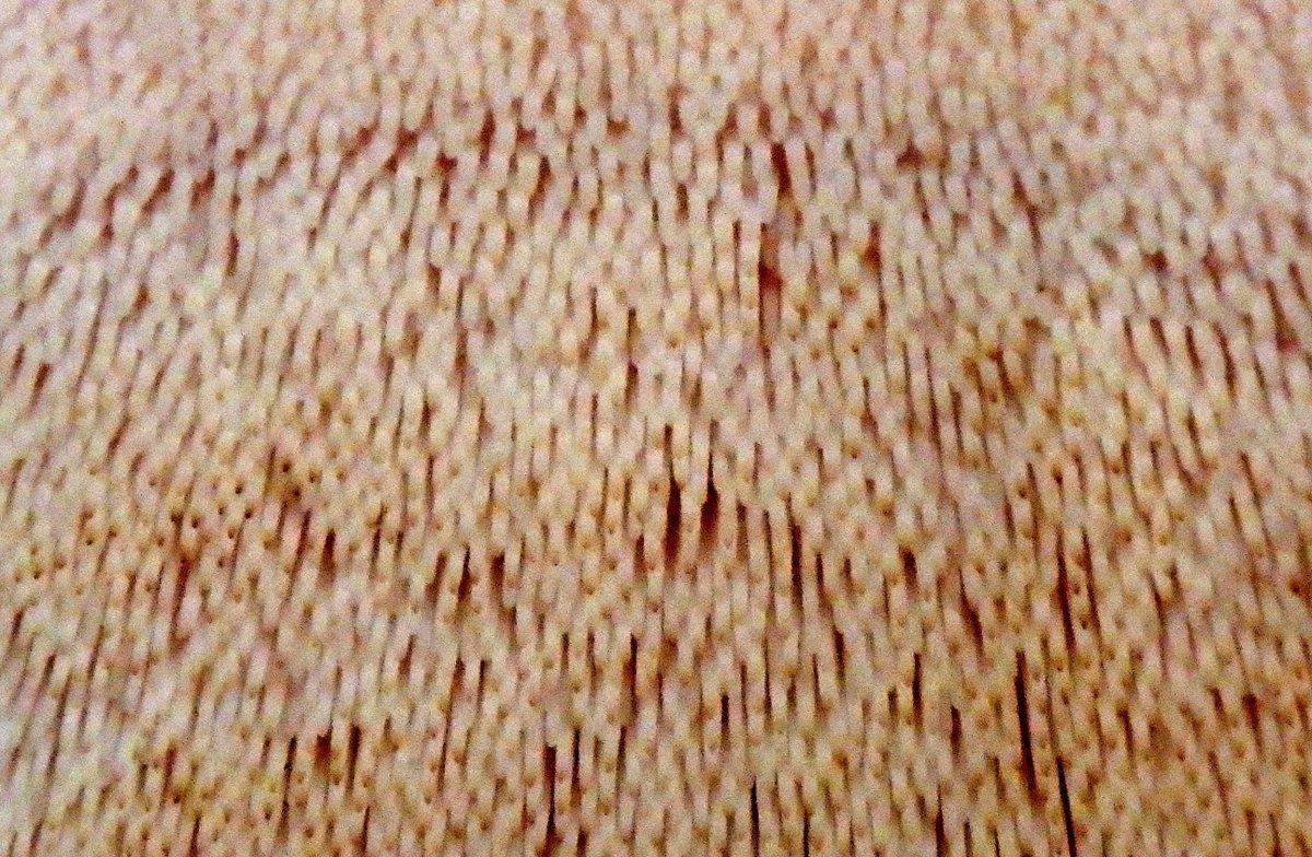 11. Shelving Tooth Fungus aka Climacodon septentrionale Close