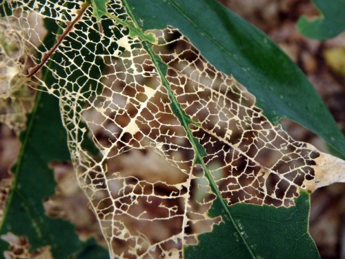 12. Oak Leaf Skeleton