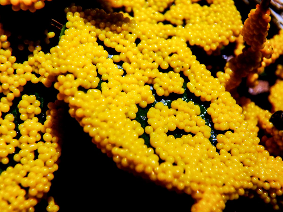 Yellow Tooth Slime Mold | New Hampshire Garden Solutions