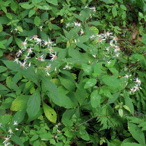 12. White Whorled Wood Aster