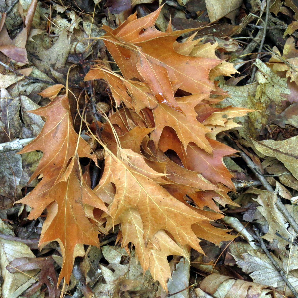 13. Oak Leaves