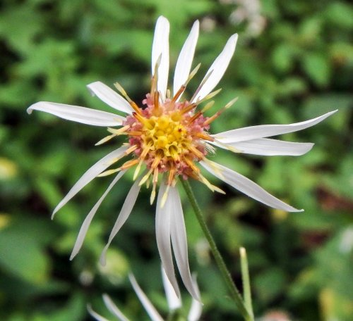 13. White Whorled Wood Aster