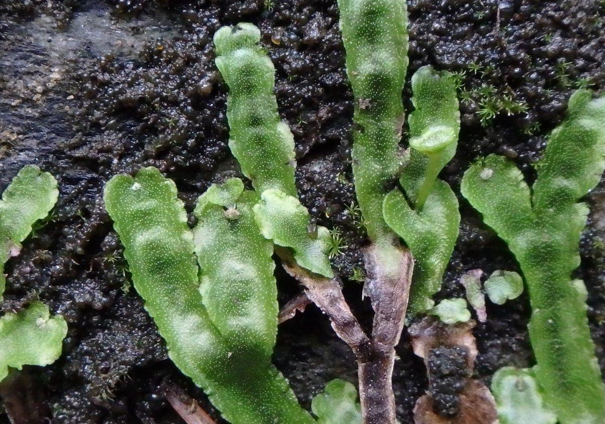 16. Overleaf Pellia (Pellia epiphylla.)