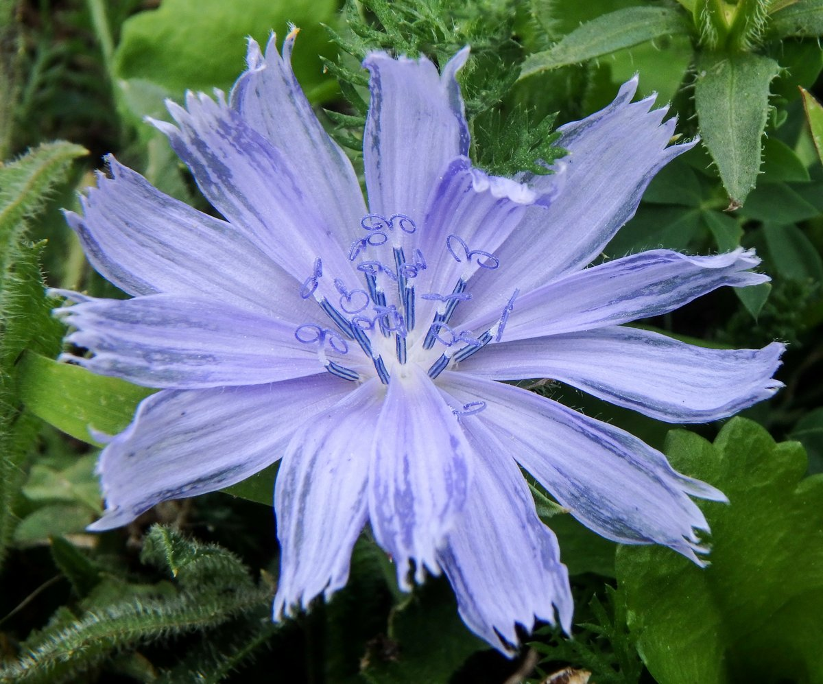 18. Chicory
