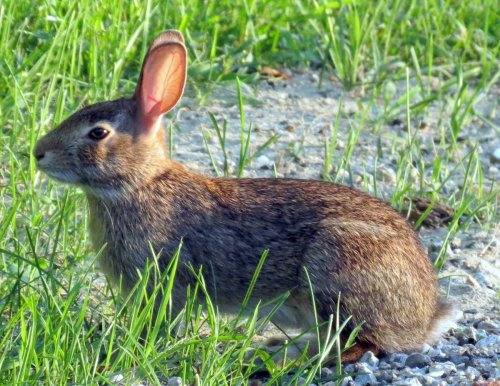 18. Cottontail