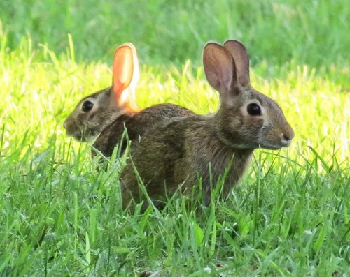 19. Cottontails