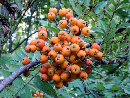 2. Mountain Ash Fruit