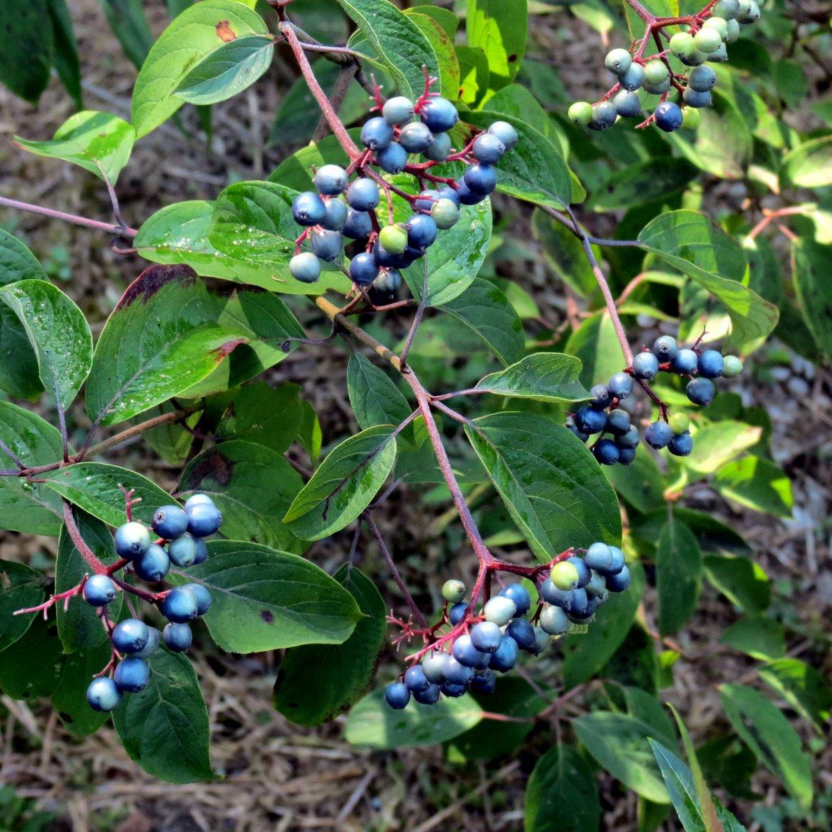 22. Silky Dogwood Berries
