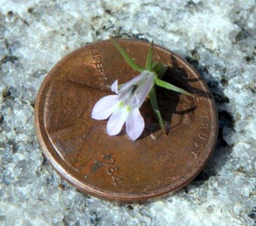 4. Lobelia Blossom