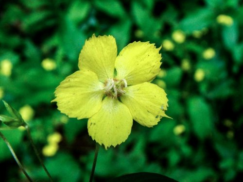 5. Fringed Loosestrife Flower