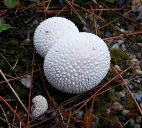 5. Puffballs