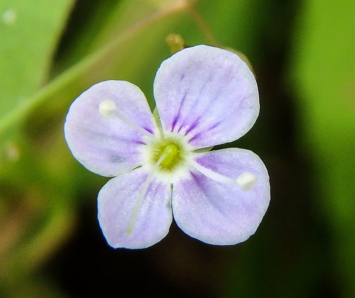 6. Narrow Leaved Speedwell aka (Veronica scutellata)