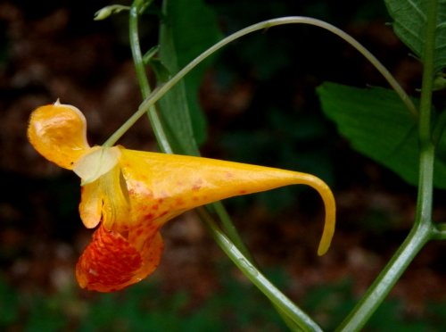 7. Jewelweed