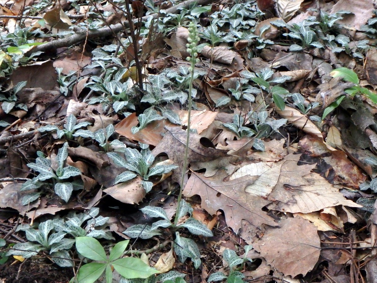 8. Downy Rattlesnake Plantain Orchids