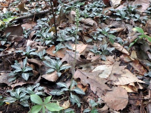 8. Downy Rattlesnake Plantain Orchids
