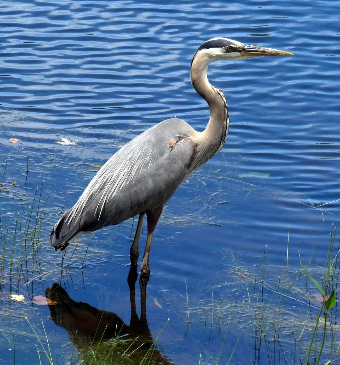 8. Great Blue Heron